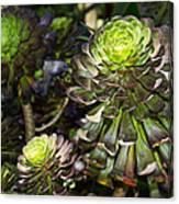 Aeonium Glow Canvas Print