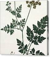 Aethusa Cynapium From Phytographie Canvas Print
