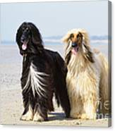 Afghan Hound Dogs Canvas Print
