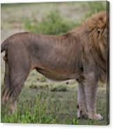 Africa Tanzania Male African Lion Canvas Print