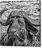 African Buffalo V4 Canvas Print