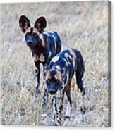 African Cape Hunting Dogs Canvas Print