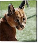 African Caracal Lynx  Canvas Print