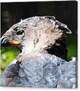African Crowned Eagle Canvas Print