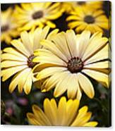 African Daisies Canvas Print