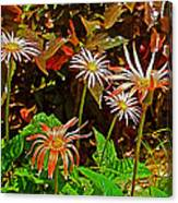 African Daisies In Aswan Botanical Garden On Plantation Island In Aswan-egypt Canvas Print
