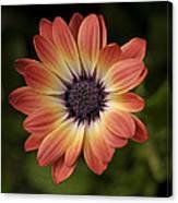 African Daisy - Bicolor Osteospermum Canvas Print