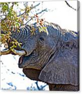 African Elephant Browsing In Kruger National Park-south Africa Canvas Print