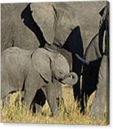 African Elephant Calf With The Herd Canvas Print