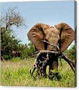 African Elephant Carying A Tree With Its Trunk Canvas Print