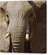 African Elephant Close Up Amboseli Canvas Print