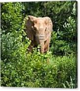 African Elephant Eating In The Shrubs Canvas Print