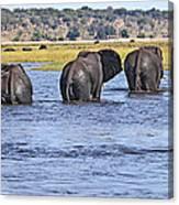 African Elephants Crossing Chobe River  Botswana Canvas Print