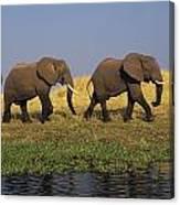 African Elephants, Lake Kariba Canvas Print