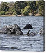African Elephants Swimming In The Chobe River Canvas Print