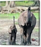 African Forest Elephant And Calf Canvas Print