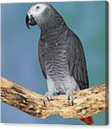 African Gray Parrot Canvas Print