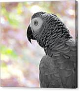 African Grey 3 Canvas Print
