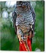 African Grey Parrot Canvas Print