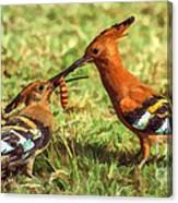 African Hoopoe Feeding Chick Canvas Print