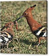 African Hoopoe Feeding Young Canvas Print