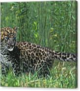 African Leopard Cub In Tall Grass Endangered Species Canvas Print