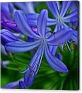 African Lily Canvas Print