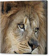 African Lion #5 Canvas Print