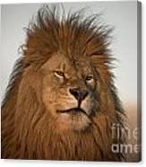 African Lion-animals-image Canvas Print