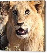 African Lion Cub Resting Canvas Print