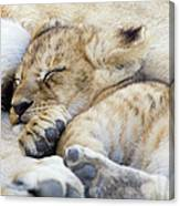 African Lion Cub Sleeping Canvas Print