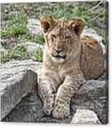 African Lion Cub Canvas Print