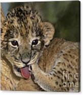African Lion Cub Wildlife Rescue Canvas Print
