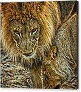 African Lions 6 Canvas Print