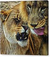 African Lions 7 Canvas Print
