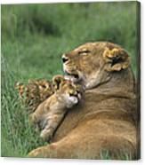 African Lions Mother And Cubs Tanzania Canvas Print