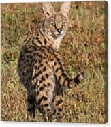 African Serval Cat 1 Canvas Print
