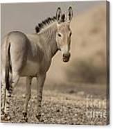 African Wild Ass Equus Africanus Canvas Print