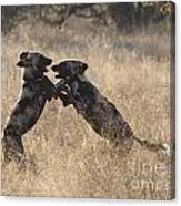 African Wild Dogs Playing Lycaon Pictus Canvas Print