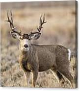 Afternoon Buck Canvas Print