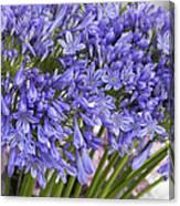 Agapanthus Flower Stalk Display At Florist Canvas Print