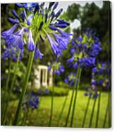 Agapanthus In The Garden Canvas Print