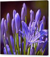 Agapanthus - Lily Of The Nile - African Lily Canvas Print