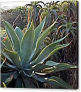 Agave At Sunset Canvas Print