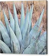 Agave Plant In The Chisos Mountains Canvas Print