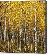 Age Pitted Aspens Canvas Print
