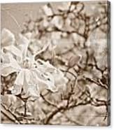 Antique Magnolia Bloom Canvas Print