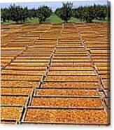 Agriculture - Blenheim Apricots Canvas Print
