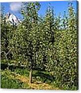 Agriculture - Bosc Pear Orchard Canvas Print