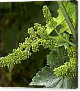 Agriculture - Cluster Of Wine Grape Canvas Print